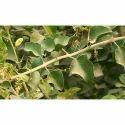Clerodendrum Phlomidis - Agnimantha - Arani Mool Extract