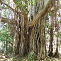 Ficus Benghalensis Vad Chhal