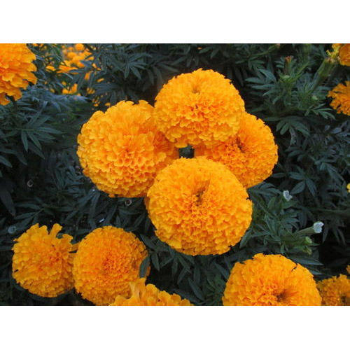 Royal Gold Marigold Seeds
