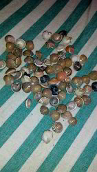 Button Sea Shell