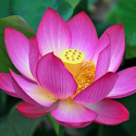 Nelumbo Nucifera - Kamal Pushpa Extract