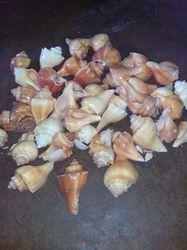 Shankh Sea Shells