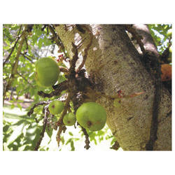 Ficus Racemosa - Udumbara - Umbro