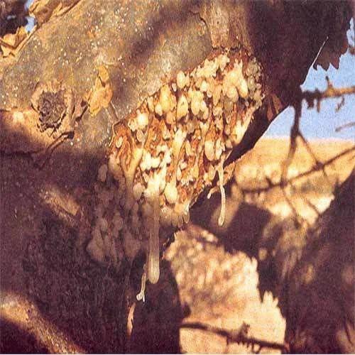 Boswellia Serrata 65%
