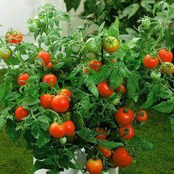 Grow Tomatoes In A Growing Bag