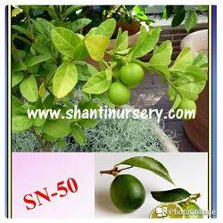 Seedless Kagzi Lemon Plant