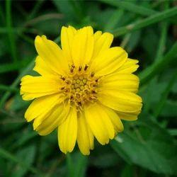 Wedelia Calendulacea - Bhangra Extract