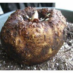 Amorphophallus Campanulatus - Suran