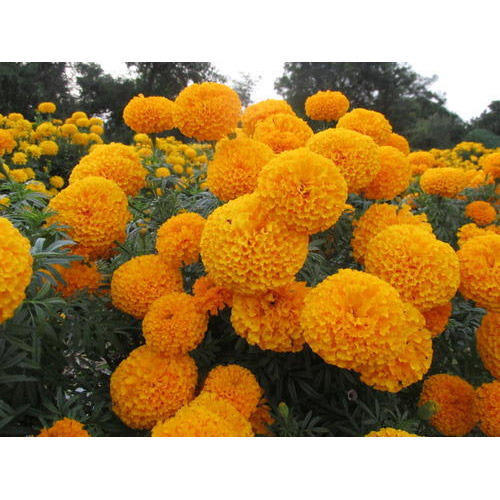 Royal Tall Gold Marigold Seeds