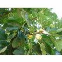 Ficus Lacor - Plaksa