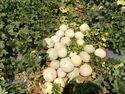 KASTURI  F-1 Hybrid Muskmelon Seeds