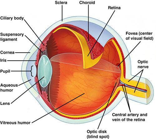 Human Eye Chart Wholesale Distributor From Tirupati