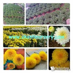 Chrysanthemum Meri Gold Plant