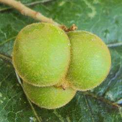 Sapindus Trifoliatus - Aritha Extract