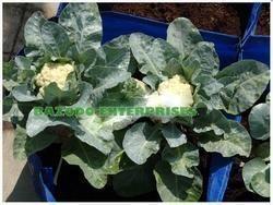 Cabbage outdoor HDPE Grow bag