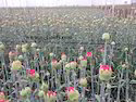 Carnation Net