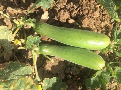 Shravani Cucumber Seeds