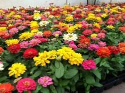 zinnia dreamland mix seasonal plant