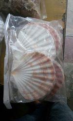 Five Inches Feather Shaded Sea Shells
