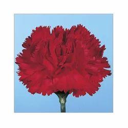 Carmel Flower Plant