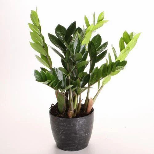 Decorative Plant - Low Light Indoor Plant Manufacturer from Jalgaon