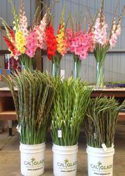 Gladiolus Pre Cooling Cold Room