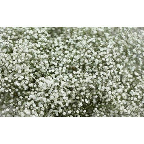 Gypsophila flowers white gypsophila flowers wholesale supplier white gypsophila flowers mightylinksfo