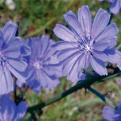 Cichorium Intybus - Kasni Extract