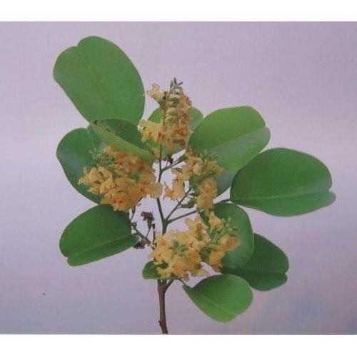 thesis on antibacterial properties of medicinal plants