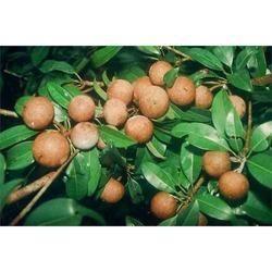 Sapota Fruit Plant