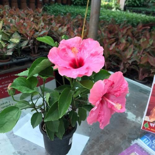 Perennial Hibiscus Plant In Cocopeat In 4 Inch Pot Rs 75 Number