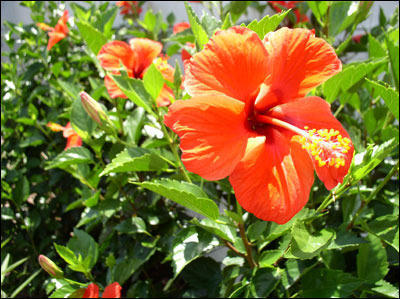 Orange Hibiscus Plant View Specifications Amp Details Of