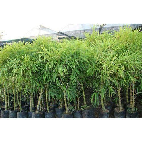 Bamboo Palm Plant At Rs 500 Piece बम्बू
