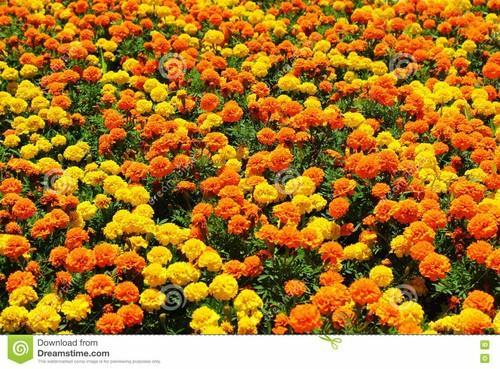 MARIGOLD MIXED FLOWERS