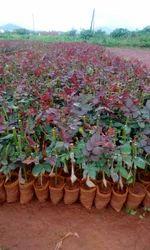Dutch, Rose, Plants