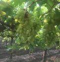 Sonaka Seedless Grapes