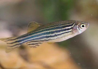 Zebra Danio Fish Aquarium Professionals Service Provider In West