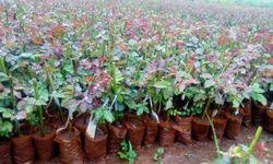 Top Secret Dutch Rose Plants Plants