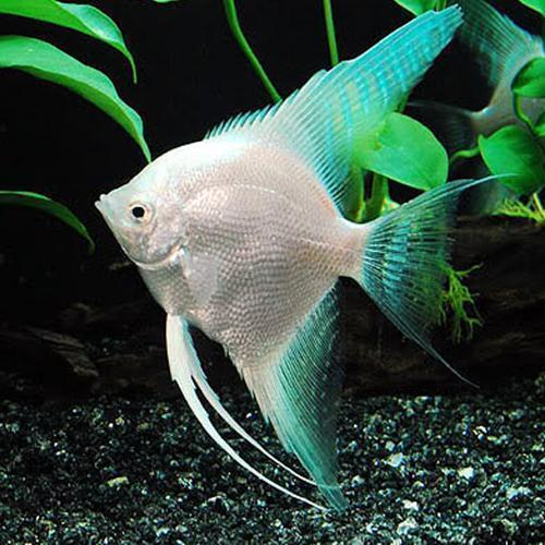 Aquarium Fish At Rs 20 Piece Aquarium Machhali Aquarium Machli