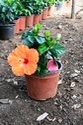 Hibiscus Dwarf Plant