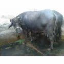 Bhadawari Buffalo