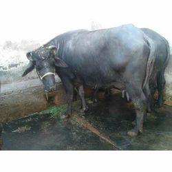 Murrah Buffaloes - Pure Murrah Buffalo Animal / Crop Production from