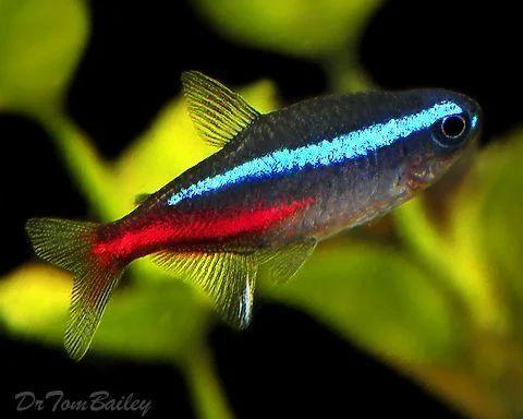 Natural Neon Tetra Aquarium Fish Size