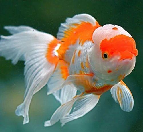 Oranda Goldfish - View Specifications & Details of Aquarium