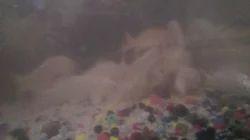 Milky Gold Fish