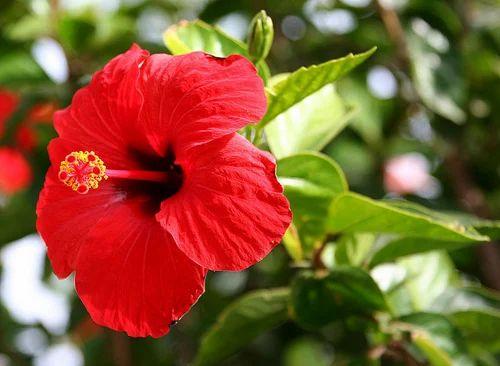Gudhal Hibiscus Rosa Sinensis At Rs 150 Kilograms Hibiscus