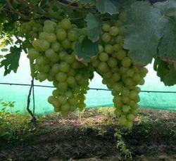 Thompson Grapes