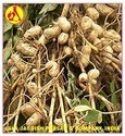 Peanut Carrier Oil