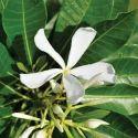 Holarrhena Antidysentrica - Indrajav Extract