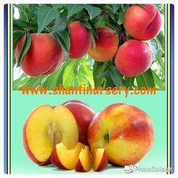 Peach Grafted Fruit Plant